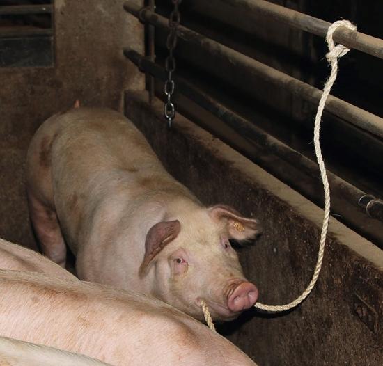 Fotografija proizvoda Uže za prijevoz stoke