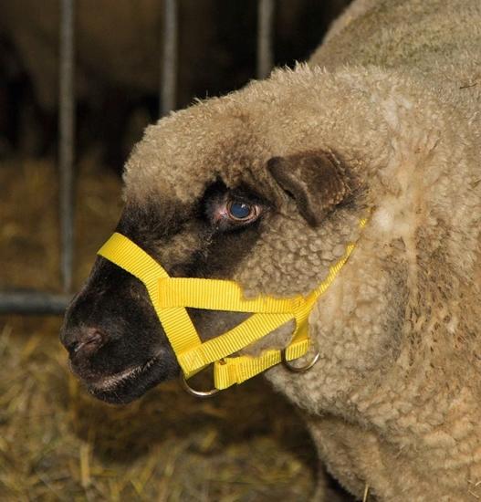 Fotografija proizvoda Ular za ovce i ovnove, žuti