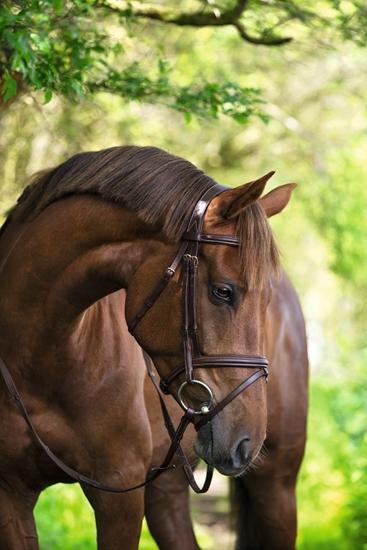 Uzde Classic-odrasli konj